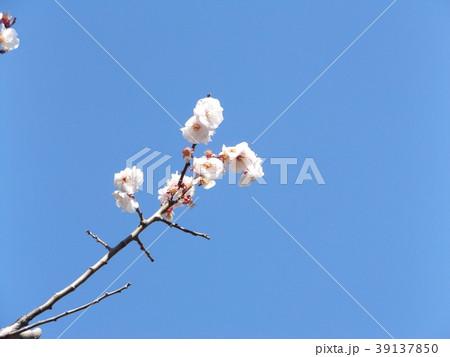 一寸遅く咲く我が家の白色のウメの花 39137850