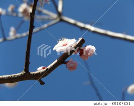 一寸遅く咲く我が家の白色のウメの花 39137851