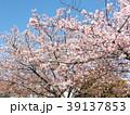 花 五分葉桜 春の写真 39137853
