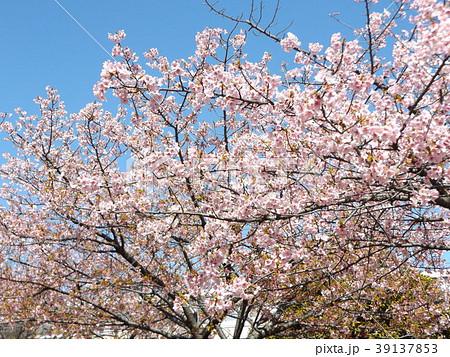 五分葉桜になったカワヅザクラ 39137853