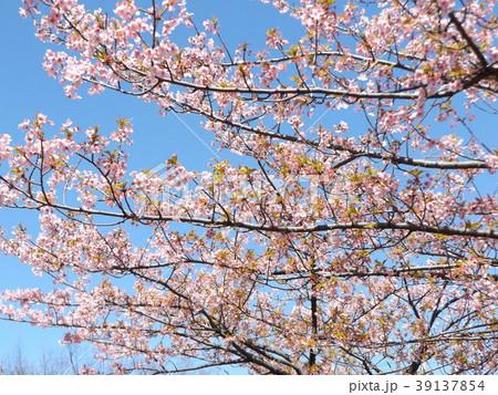 五分葉桜になったカワヅザクラ 39137854