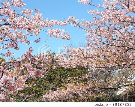 五分葉桜になったカワヅザクラ 39137855