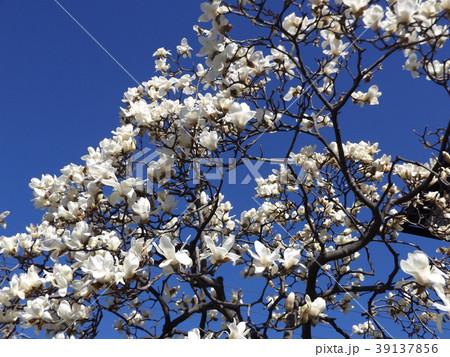 満開になったハクモクレンの大きい白い花 39137856