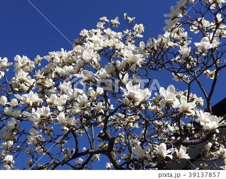 満開になったハクモクレンの大きい白い花 39137857