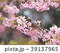 鵯 鳥 河津桜の写真 39137965