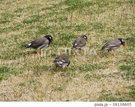 土手の芝生で餌を啄ばむムクドリ 39138605