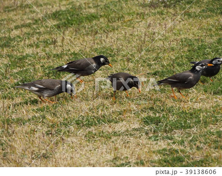 土手の芝生で餌を啄ばむムクドリ 39138606