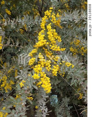 銀葉アカシアの黄色い花 39138608