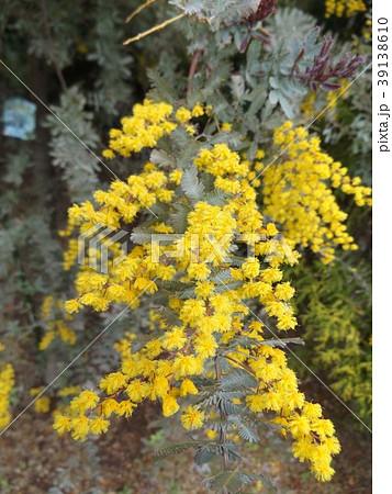 銀葉アカシアの黄色い花 39138610
