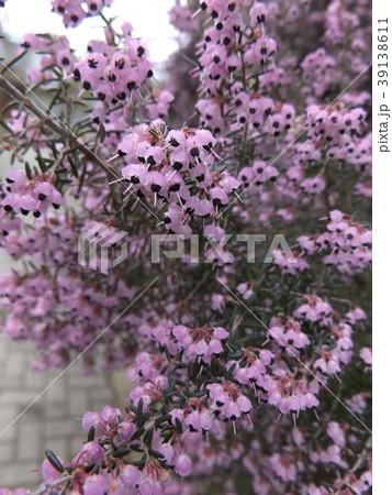 可愛い小さい薄紫色の花ジャノメエリカ 39138611