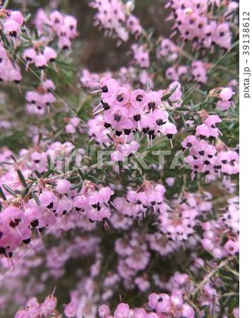 可愛い小さい薄紫色の花ジャノメエリカ 39138612