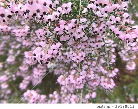 可愛い小さい薄紫色の花ジャノメエリカ 39138613