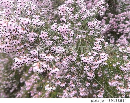 可愛い小さい薄紫色の花ジャノメエリカ 39138614