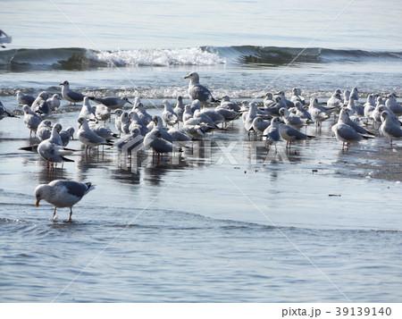 稲毛海岸のユリカモメとセグロカモメ 39139140