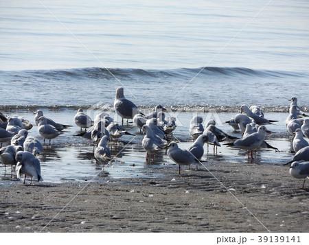 稲毛海岸のユリカモメとセグロカモメ 39139141