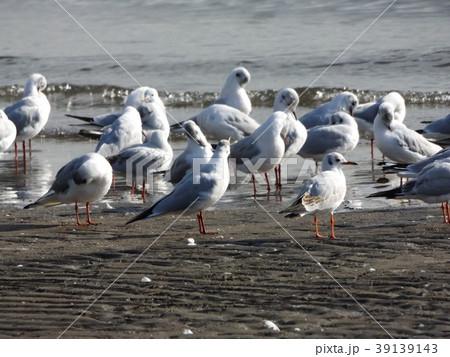 稲毛海岸のユリカモメ 39139143