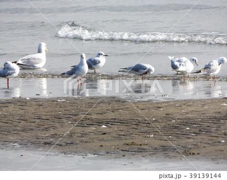 稲毛海岸のユリカモメとセグロカモメ 39139144