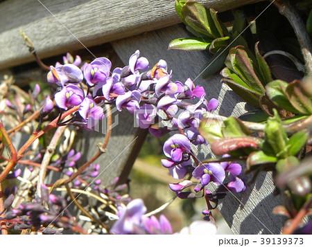 この紫色の花のつる性植物はハーデンベルギア 39139373