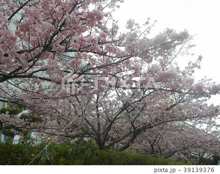 満開の稲毛海岸駅前カワヅザクの花 39139376