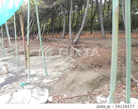 荒波で洗われた稲毛海岸の黒松の林 39139377
