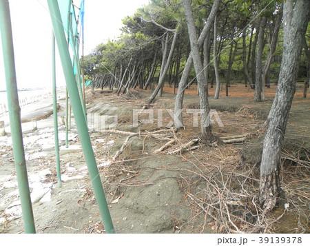 荒波で洗われた稲毛海岸の黒松の林 39139378