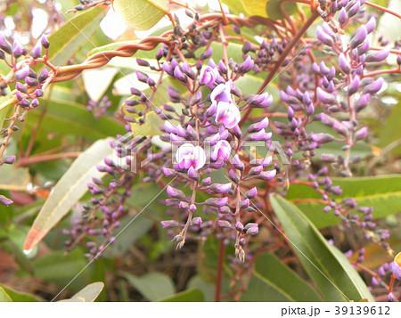 この紫色の花のつる性植物はハーデンベルギア 39139612