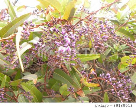 この紫色の花のつる性植物はハーデンベルギア 39139613