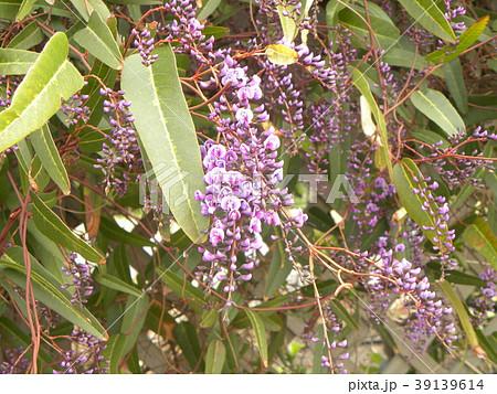 この紫色の花のつる性植物はハーデンベルギア 39139614