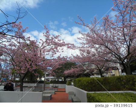 満開の稲毛海岸駅前カワヅザクの花 39139615