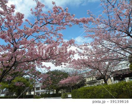 満開の稲毛海岸駅前カワヅザクの花 39139616