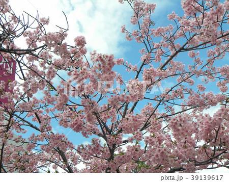 満開の稲毛海岸駅前カワヅザクの花 39139617