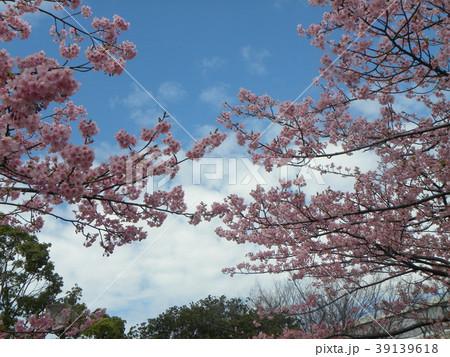 満開の稲毛海岸駅前カワヅザクの花 39139618