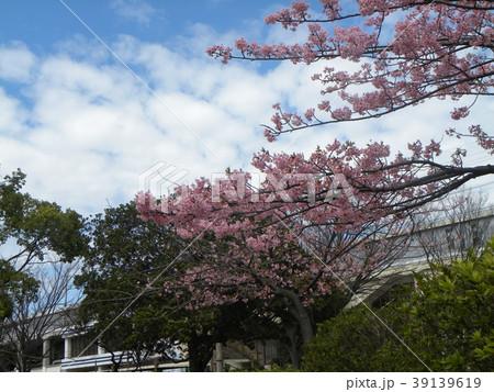 満開の稲毛海岸駅前カワヅザクの花 39139619