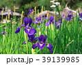 花 花菖蒲 菖蒲の写真 39139985