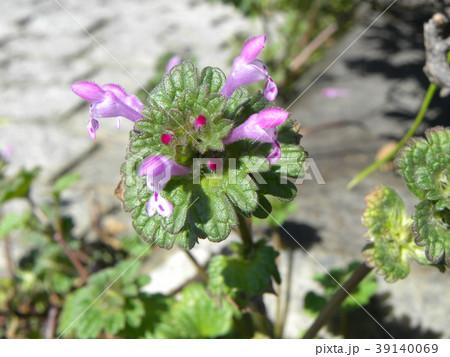 春の初めに咲き始める紫の小さい花はホトケノザ 39140069