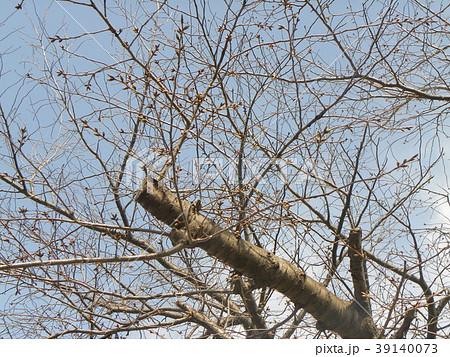 ソメイヨシノよりほんの少し遅く咲き始めるオオシマザクラの蕾 39140073