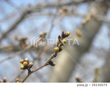 ソメイヨシノよりほんの少し遅く咲き始めるオオシマザクラの蕾 39140074