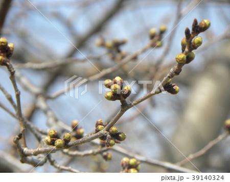 ソメイヨシノよりほんの少し遅く咲き始めるオオシマザクラの蕾 39140324