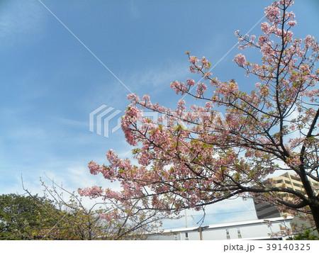 五分葉桜の稲毛海岸駅前カワヅザクの花 39140325