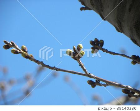 ソメイヨシノよりほんの少し遅く咲き始めるオオシマザクラの蕾 39140330
