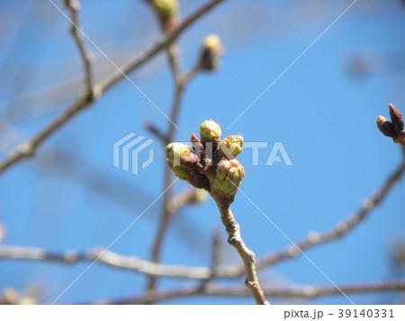 ソメイヨシノよりほんの少し遅く咲き始めるオオシマザクラの蕾 39140331