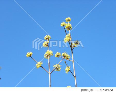 サンシュユの黄色い綺麗な花 39140478