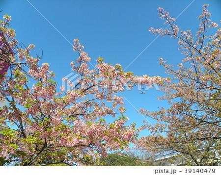 五分葉桜の稲毛海岸駅前カワヅザクの花 39140479