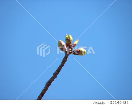ソメイヨシノよりほんの少し遅く咲き始めるオオシマザクラの蕾 39140482