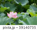夏_蓮(ハス)のイメージ 39140735