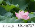夏_蓮(ハス)のイメージ 39140737