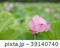夏_蓮(ハス)のイメージ 39140740