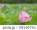 夏_蓮(ハス)のイメージ 39140741
