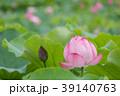 夏_蓮(ハス)のイメージ 39140763