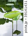 蓮 葉 植物の写真 39141431